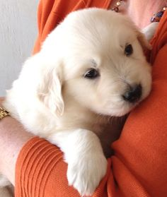 English Cream Golden Retriever the day my Baby Boy Jake picked us at 8 weeks old.