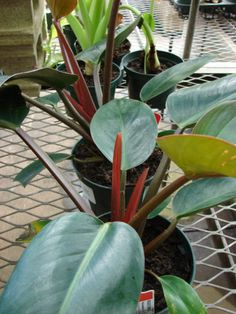 Congo Rojo Philodendron Care: Tips On Growing Philodendron Congo Rojo