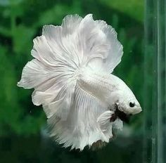 white moon tail fish