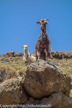 En randonnée, nous croisons surtout des chèvres !