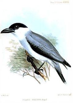 PsarisFraseriiWolf.jpg La titira coroninegra o tueré chico (Tityra inquisitor) es un ave paseriforme de tamaño mediano. Tradicionalmente se ha colocado en la Cotingidae o en la familia Tyrannidae, pero las pruebas sugieren que es mejor en Tityridae,1 donde ahora es colocado por la SACC.