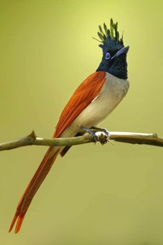 Asian Paradise Flycatcher (Terpsiphone paradisi) in India by Sharad Agrawal