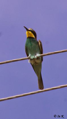 Birds (Avis) ჩიტები: კვირიონი Euproean bee-eater (Merops Apiaster)