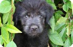 Orange, CA - Labrador Retriever/Otterhound Mix. Meet Lily a Puppy for Adoption.