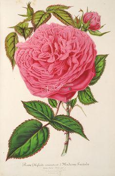 Rose, 2      ...