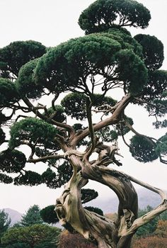 thekimonogallery:  Manicured pine tree, Japan. Photographer closer21 of Flickr