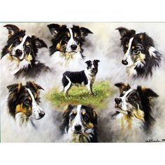 Dogs - The Border Collie - 6 pack
