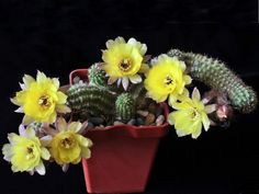 Echinopsis Chamaecereus Hybride Opus Yellow