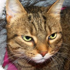 Zoey - URGENT - City of Mississauga Animal Shelter in Mississauga, Ontario - ADOPT OR FOSTER - 8 year old Spayed Female Domestic SH