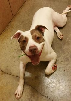 Meet Bronx - URGENT, an adoptable Pit Bull Terrier looking for a forever home. If you're looking for a new pet to adopt or want information on how to get involved with adoptable pets, Petfinder.com is a great resource.