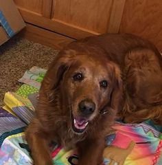 This is Annie (17-010) - 7 yrs. She is a retired breeder girl. She is spayed, current on vacciantions, potty trained,  walks well on leash, good with dogs and kids over age 10 yrs. Not cat tested. She is afraid of moving vehicles. She a bit nervous being in a home  and is learning to live indoors. Needs a canine mentor in her forever home. RAGOM, MN. - http://www.ragom.org/avail.cgi/Available/dog?dog_id=7281