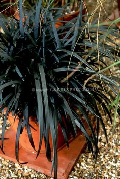 1000 images about ornamental grasses on pinterest for Dark ornamental grasses
