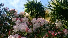 Rhododendron Correa Pink blooming @kilmokeacountrymanor