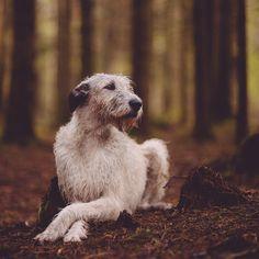 Dog Breed of the Week: Irish Wolfhound | PawPost