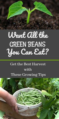 Want All the Green Beans You Can Eat? Get the Best Harvest With These Growing Tips Want All the Green Beans You Can Eat? Get the Best Harvest With These Growing Tips,garden & indoor plants etc These growing tips will be so helpful in the garden this year! Growing Green Beans, Growing Greens, Growing Tomatoes, Growing Plants, Growing Vegetables, Growing Bush Beans, Planting Green Beans, Growing Flowers, Comment Planter