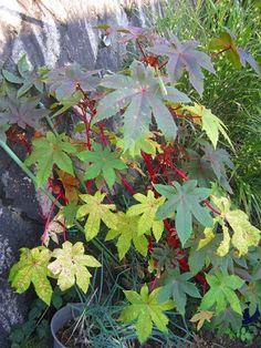 赤唐胡麻(アカトウゴマ)/ベニヒマ(紅蓖麻)/ミズマ(水間)/ トウゴマ(唐胡麻)Ricinus communis L./ヒマ(蓖麻)/英名:Castor bean、Castor-oil plant ドウタイグサ科トウゴマ(リシナス)属・非耐寒性木質性草本(常緑中高木)/多年草~日本では一年草扱い (花8月下旬~10月・草丈1.5~3mくらい、熱帯では5~6m~10m以上、品種により異なる) 東アフリカ原産~中国を経て、9世紀頃に日本に渡来(説)/一属一種