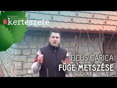 A friss füge finom, édes csemege. Már évek óta Magyarországon is sikeresen termeszthető védettebb, naposabb helyen. Ficus, Geraniums, Plants, Fictional Characters, Youtube, Plant, Fantasy Characters, Figs, Fig