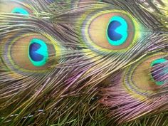 I have always had a wondrous affinity for Peacock feathers.