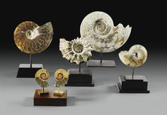 Belle collection d'ammonites choisies dont Cleoniceras, Douvelliceras, Phylloceras | Lot | Sotheby's
