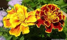 Dwarf French Marigold Seeds- 2 Packets W/Generous Amount of Seeds- Mixed Colors
