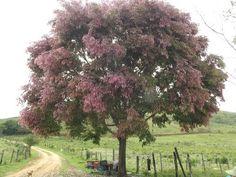 Árvore de Sapucaia Florida.