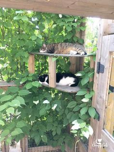 A cat-safe garden of non-toxic plants your cats will love. How to create a cat-safe garden your cat will love. Actinidia Kolomikta is a cat attractant and completely non-toxic to cats. Cat Safe Plants, Cat Plants, Garden Plants, Toxic Plants For Cats, Indoor Garden, Vegetable Garden, Outdoor Cat Enclosure, Cat Run, Cat Playground