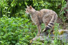 Mein Poster des Tages passend zum Kalender des Tages:   Ingo Gerlach - Wildkatze sichert