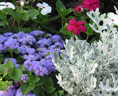 Dusty Miller, Ageratum, and Annual Vinca Dusty miller's silvery foliage makes it a perfect contrast for almost any blooming partner. Here it's teamed up with the cool blue of ageratum and the heat of carmine and white annual vincas. The shiny foliage of the vinca looks great next to the velvet-textured dusty miller even when the vinca isn't blooming its heart out. Light shade or sunshine suits this garden bed.
