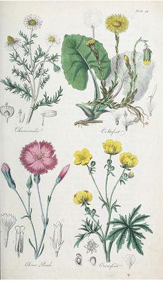 Chamomile (Chamaemelum nobile), Coltsfoot (Tussilago farfara), Clove Pink, Gilliflower (Dianthus caryophyllus), and Crowfoot (Ranunculus acris). The British flora medica…(1838)
