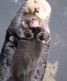 Momma sea otter making sure her pup is comfy 🔥 - Awesome animals - Nice cat Cute Little Animals, Cute Funny Animals, Cute Cats, Cute Animal Videos, Tier Fotos, Cute Creatures, Animal Memes, Animals Beautiful, Animals And Pets