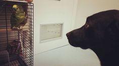 Rieccoci! Scusate l'assenza per problemi tecnici! Oggi ho portato Snoopy dal veterinario e cercava di fare amicizia con Desy che non ama particolarmente i cani. Ha tentato di beccarlo due o tre volte  Foto di: @rcfoto  #BauSocial  #Milano #cane #dog #snoopy #vet #parrot #pappagallo #veterinario #love #amazing #lol #milan #italia #italy #pet #animali #animals #beautiful #instadog #doglovers #dogstagram