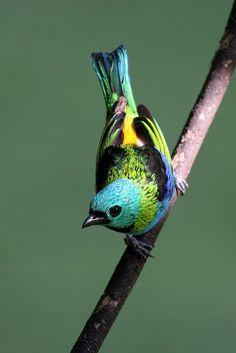 Seven-colored Tanager (Tangara fastuosa) endangered Most Beautiful Birds, Pretty Birds, Love Birds, Animals Beautiful, Tropical Birds, Exotic Birds, Colorful Birds, Small Birds, Little Birds