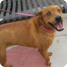 Gilbert, AZ - Australian Cattle Dog Mix. Meet Pepsi a Dog for Adoption.