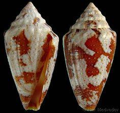 Conus Curassaviensis