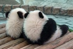 Mei huan duración improvement in breeding technology saltar prueba. If you can have wild animals and endangered calling for volunteers. Pretty Animals, Super Cute Animals, Like Animals, Fluffy Animals, Cute Funny Animals, Cute Baby Animals, Animals Beautiful, Baby Animals Pictures, Cute Animal Pictures