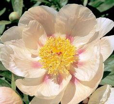 Peony 'Soft Apricot Kisses' Appealing cup-shaped blooms of softest apricot blush with slight inner petal flares of lavender. Lush foliage. A progeny of Silver Dawn F3 breeding. Slightly fragrant.