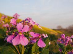 黄色と紫 春の夕暮れ flower