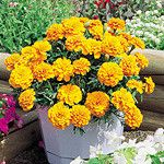 Marigolds – These plants have a smell that tends to chase off anyone and anything for that matter.  Used to keep some bugs away from gardens, this flower will do the same for your mosquito problem.  Plant them around and enjoy their blooms as well.  They look beautiful in pots, so stick these in corners and around your patio for a hint of color.