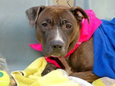 TO BE DESTROYED - TUESDAY - 4/15/14  Manhattan Ctr -P  LOVELY A0995680 Female br brindle/ wht pit mix OWN SUR-New Baby***PUPPY ALERT!!!  8 MTHS old SCARED! Already a mother herself. Coat is thin & imperfect. Poor care: ear injury, ear infection, many flea bites... Although ...well fed,might not have received the best basic care. Lived w/several adults,teens & very young kids. Said to be good to all, playful & house trained. I hope she can be given a chance and start her life all over again.