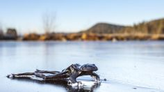 Nature can be both brutal and beautiful at the same time.:Frozen frog, Bindingsvannet, Akershus Norway.