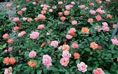 Carefree Celebration Rose Picture