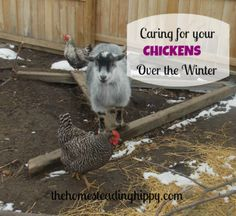 how to take care of your chickens over the winter