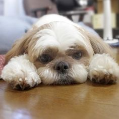 Shih Tzu Dog.....Molly's look and expression....Love Her!