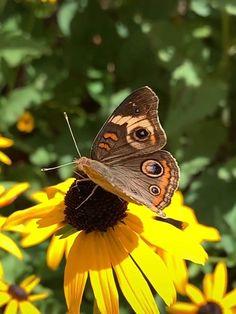 Junonia coenia, known as the common buckeye butterfly Buckeye Butterfly Video, Butterfly On Flower, Butterfly Drawing, Butterfly Pictures, Butterfly Painting, Butterfly Wallpaper, Monarch Butterfly, Beautiful Flowers Wallpapers, Beautiful Gif