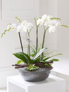 We've designed this stunning planted arrangement in the style of a Japanese Zen garden. With its exotic orchids, sleek lines and silver hues, the design honours the Japanese design aesthetic. It is a living sculpture; a miniature garden and a beautifully serene work of art.Featuring 2 white twin stemmed orchids, a green succulent and a nolina planted in a silver bowl with silver gravel and bamboo. Please be advised that this product requires a degree of self-assembly. While the plants arrive…