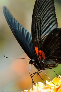 Great Mormon Butterfly | Flickr - Photo Sharing!