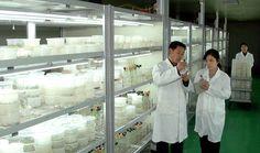 여러 작물의 모를 조직배양하여 -농업과학원 농업생물학연구소--《조선의 오늘》