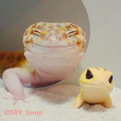 589_tomo 琥珀さんとちんまりさん✨ #leopardgecko  #レオパードゲッコー  #ヒョウモントカゲモドキ  #爬虫類 #かわいい  #いやし  #ちんまりレオパ  2017/08/26 18:31:55