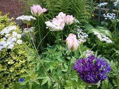 Chaerophyllum hirsutum 'Roseum', Tulip 'Groenland' and Allium 'Purple Sensation' ending Spring with style