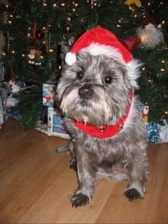Cairn terrier Hershey..this is just too cute for words!! Thx Col Potter for all you do!